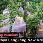 Peluang investasi Lengkeng new kristal