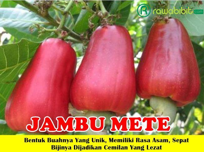 Jual Bibit Jambu Monyet / Jambu Mete