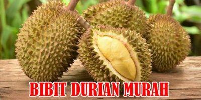 Jual Bibit Durian Murah