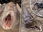 """CDC Warns Of """"Unusual Or Aggressive Rodent Behavior"""" Due COVID Lockdowns"""