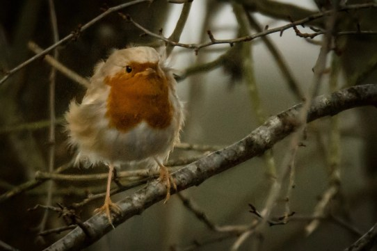 Robin in the wind ¡