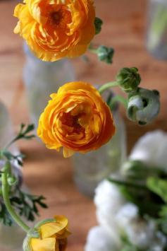 700_orange-ranunculus