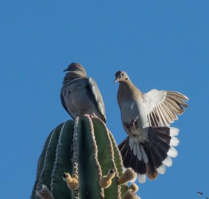 White-winged Dove pair