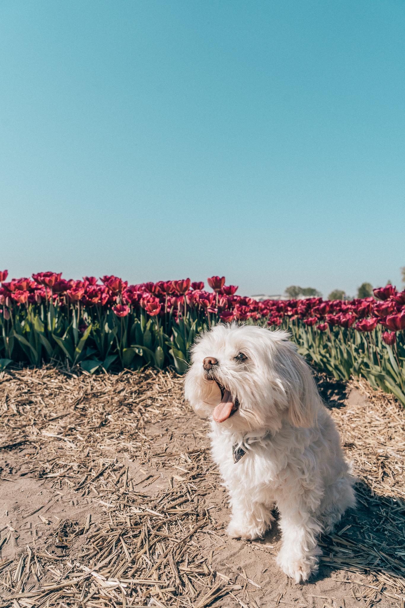 Leo at tulip field