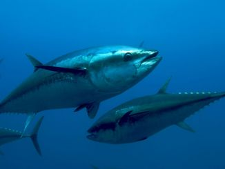 blue-fin tuna fishing started