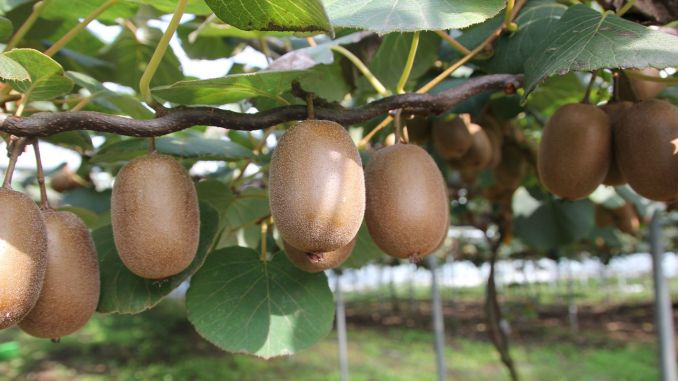19 Lira Diesel and Fertilizer Support per Decare to Kiwi Growers
