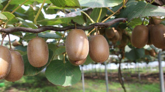 19 Suporta sa Lira Diesel ug Fertilizer matag Pagdeklara sa Kiwi Growers