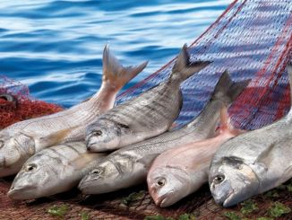 Egeli fishermen exported ends out of every four fishes exported