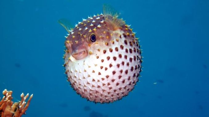 million lira support will be provided to blowfish fishing