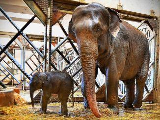 Izmir natūralaus gyvenimo parkas gavo trečią dramblio veršį