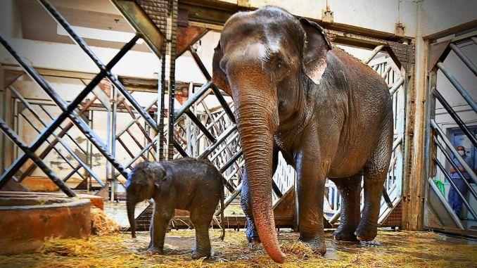 izmir natural life park got its third elephant calf