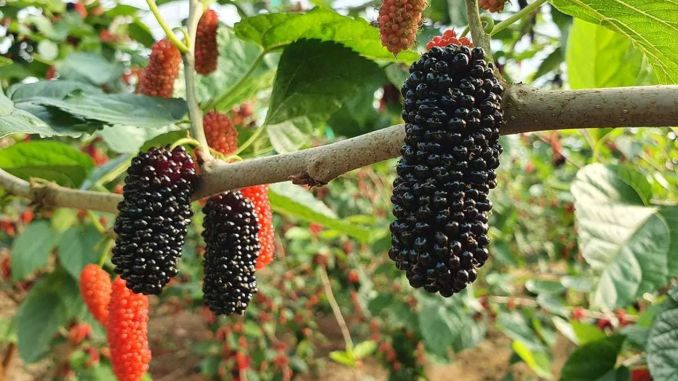 miraculous benefits of black mulberry