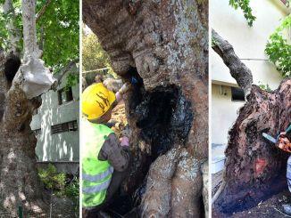 Монументално дрвеће Измира у сигурним је рукама