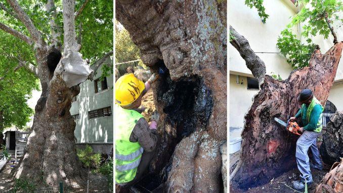 Die monumentalen Bäume von Izmir sind in sicheren Händen