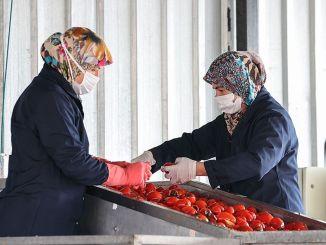 土耳其婦女自製的番茄醬在歐洲市場備受矚目。