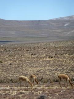 wilde Vicuñas auf dem Weg nach Chivay