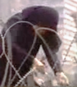 Female jihadi tearing a barbed-wire security gate.