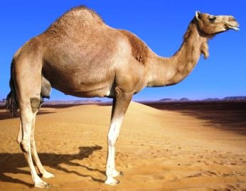 Camel urine treatment