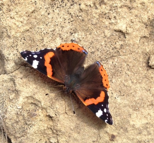 A pretty Butterfly