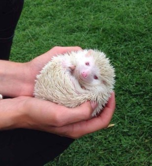 Angel the Albino African Pygmy Hedgehog