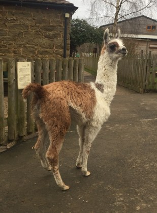Carlos, the very cheeky Llama!