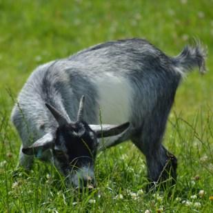 goat grazing