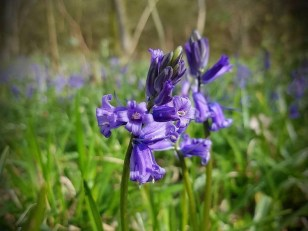 Pretty Bluebells!
