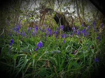 bluebells may 2021 1