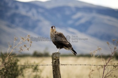 Patagonia - Caracara on fence