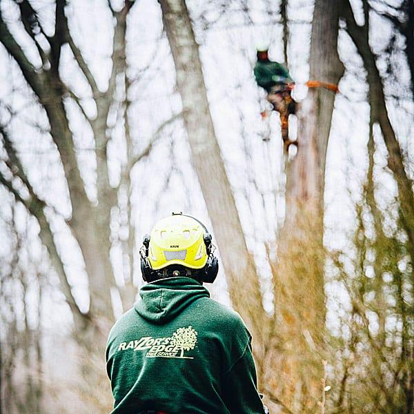 Rayzor's Edge Tree Service crew member watching another arborist climbing a tree