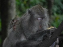 Monkeys love and family in Bali