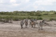 36-zebra-tanzania-serengetti-safari-animal-jungle-48