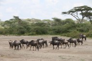 1-wild-beast-safari-tanzania-serengetti-safari-animal-jungle-40