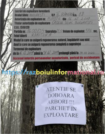 """500 copaci 235x300 - Pădurea Băneasa se taie ca """"în codru"""" chiar si sâmbăta"""