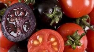 Tomates genéticamente modificados