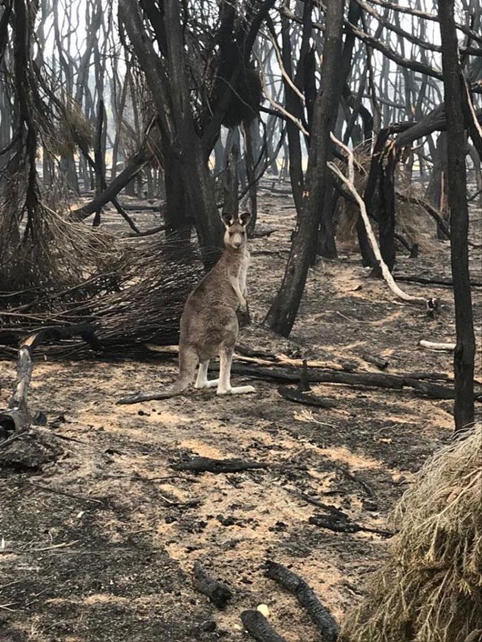 aviões distribuem comida animais incêndios austrália