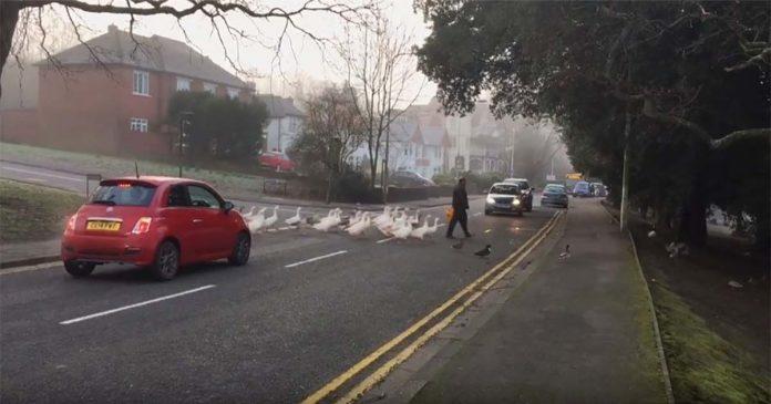 Homem e cisnes atravessando a rua
