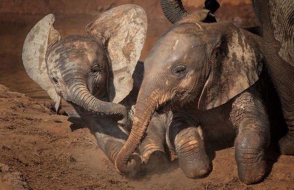 elefantes brincam na lama