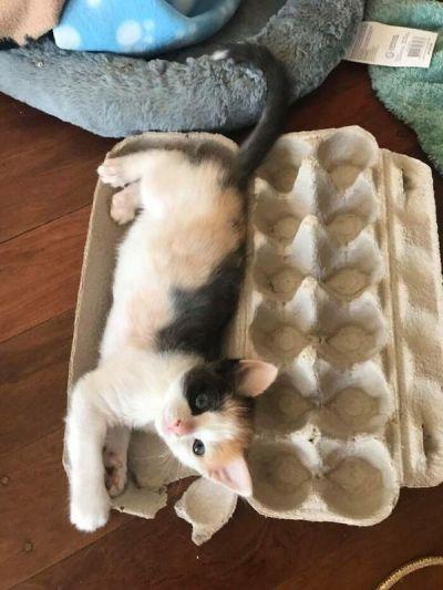 gatinha dentro caixa ovos