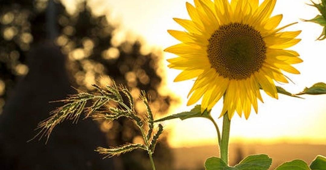 summer is here sun flower