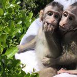 Monos transgénicos son creados con genes de cerebro humano