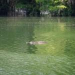 alligator greenfield lake wilmington nc rachel carter images