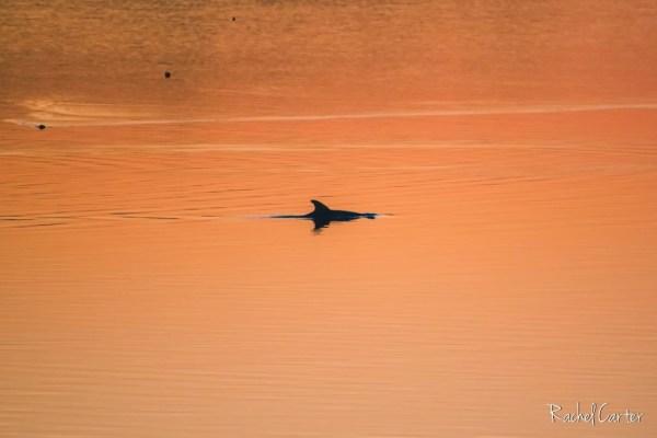 dolphins rachel carter images rci plus topsail