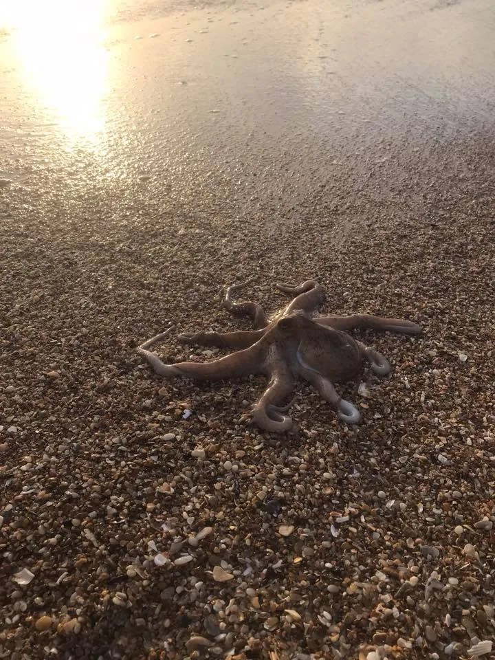 Octopus! Taken by Rona Greene in North Topsail Beach, NC - RCI Plus Topsail