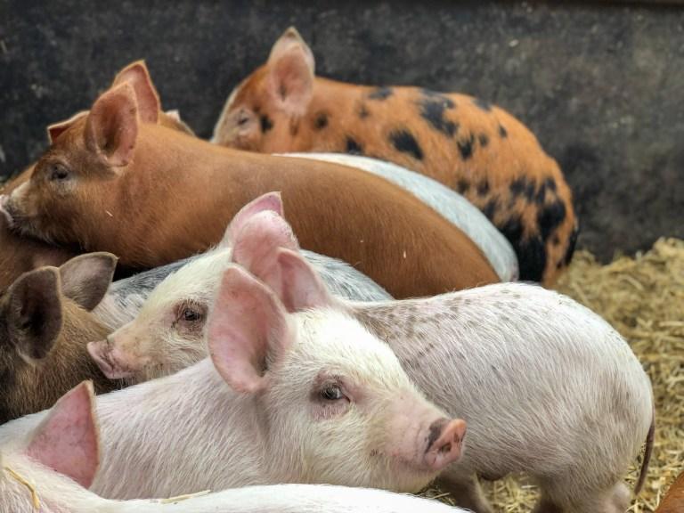 Pigs at Changin' Ways Farm - RCI Plus Topsail
