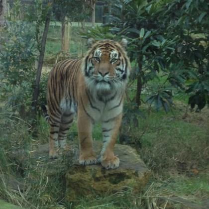 tiger-for-blog