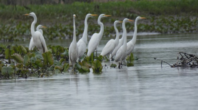 Egrets, regrets, N Branch Rancocas Creek