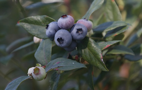 Blueberries on bush - Marie Cook