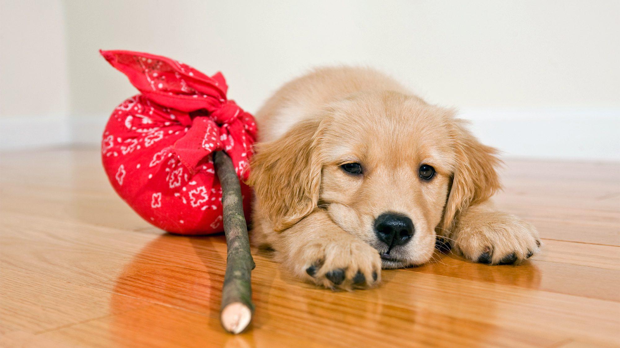 Golden Retriever puppy with hobo bindle