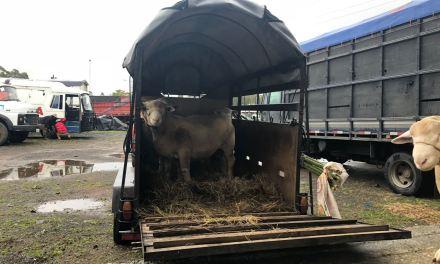 Produtores abastecem Expointer com animais